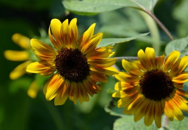 My neighbors Sunflowers Photo by Mike Hartley