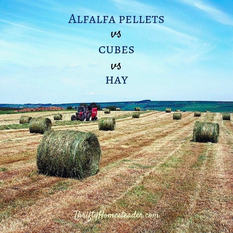 Feeding Cows Hay Alfalfa Pellets
