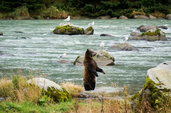 Bear-watching in Chilkoot River, Haines, Alaska