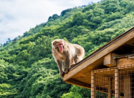 Parc des singes d'Iwatayama