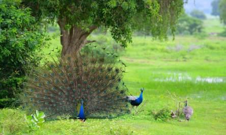 peacock yala sri lanka