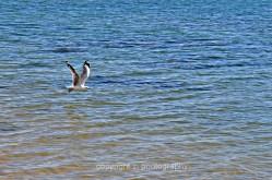Sea gull seen flying off Hydeaway Bay