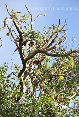 Fruit bats at Sydney's Roral Botanical Garden