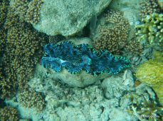 Giant clam at Hardy Reef