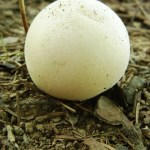 giant puffball mushroom fungus forage foraging forager frugal thrifty free food wild sustainability