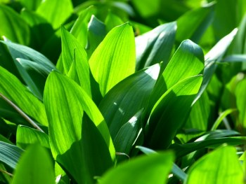 Wild Garlic ramsons forage forager foraging in Spring free food in the wild uk sustainability thrifty