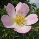 Dog Rose forage foraging forager wild food may uk thrifty sustainability