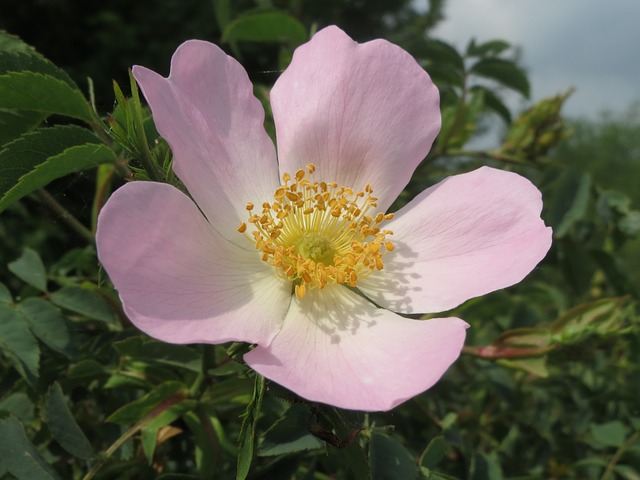 Dog Rose forage foraging forager wild food may uk thrifty sustainability