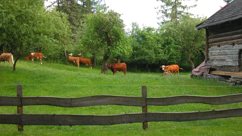 Cows in the backyard