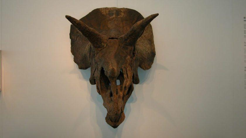 CosmoCaixa Barcelona triceratops skull