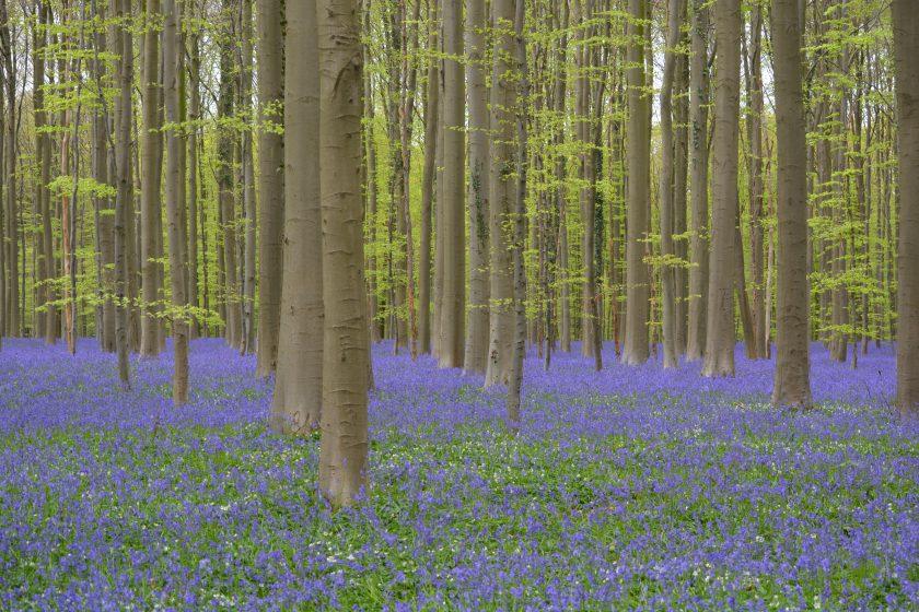 Hallerbos Forest, Belgium