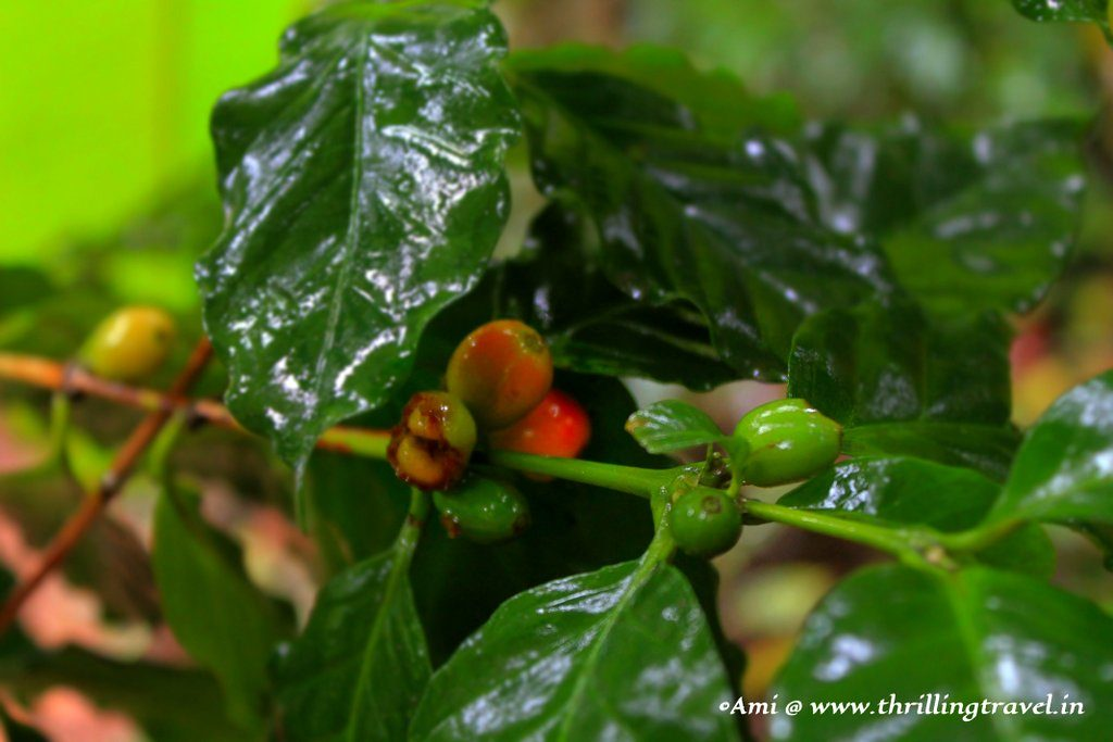 Coffee beans at the Tropical Spice Plantation