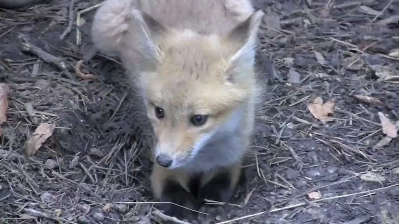 Meet Roxy the Red Fox | Busch Gardens Williamsburg, VA