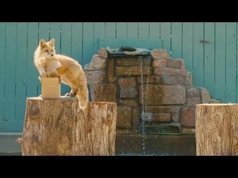 Roxy & Monty the Red Foxes | Animal Spotlight