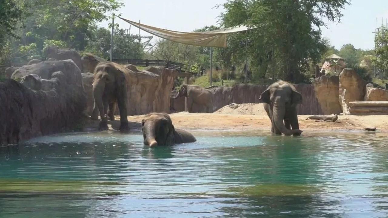 Busch Gardens' Herd of Elephants Go for a Swim