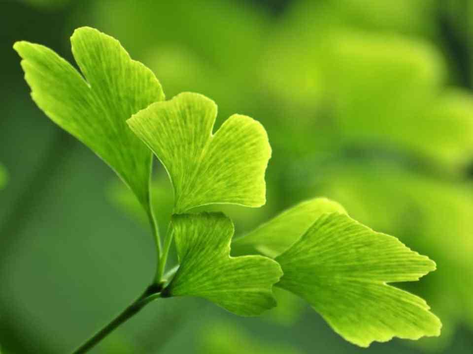 ginkgo-bilboa-herb