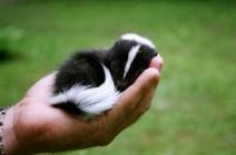 tiny skunk