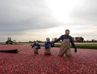 Cranberry Harvest: Ocean Spray's Fruits of Labor