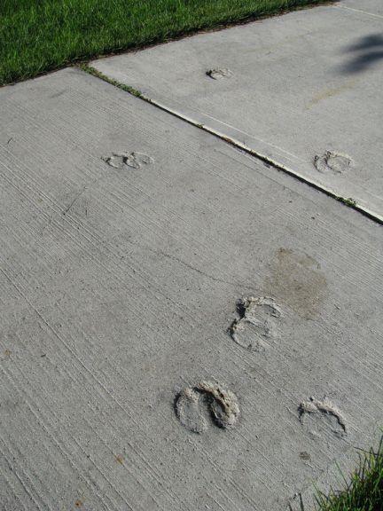 Imprint of Elk Tracks In Cured Concrete Sidewalk