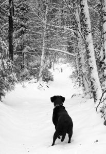 A Labrador Retriever In The Snow, Watching For Animals Hidden In The Trees