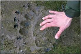 Close-up photo of a Brown Bear Track in Comparison to the Size of a Human Hand
