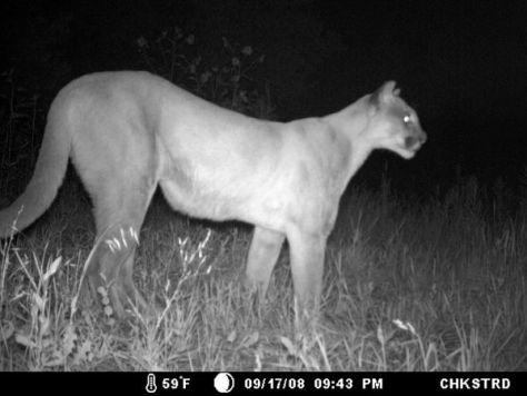 a nighttime trail camera photograph of a mountain lion