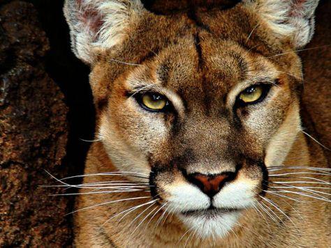 Mountain lion face close up - photo#34