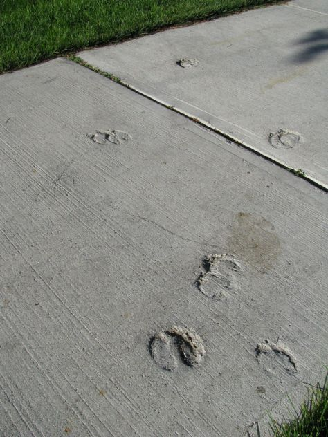 Elk Tracks Set in A Concrete Sidewalk