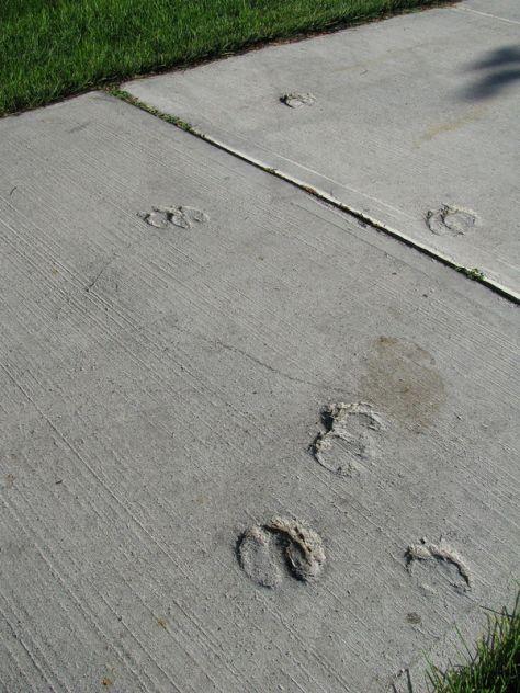 Elk Tracks Set in A Concrete Sidewalk
