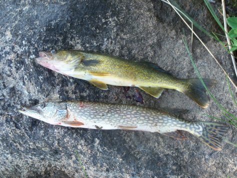 a photo of a northern pike and a walleyed-pike side by side caught at silsby lake lodge in northern manitoba