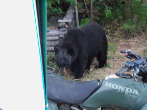 a closeup photo of a problem black bear outside of tent flaps