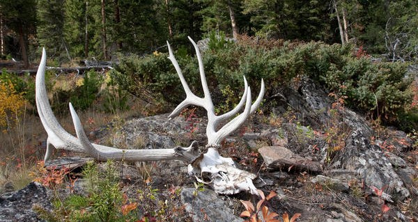An Elk Hunter Looks At Fifty – and Beyond!