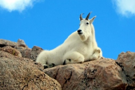 A Close-up view photo of a rocky mountain goat, bedded down on a boulder against blue sky background. See reference gmu 12 colorado game management unit