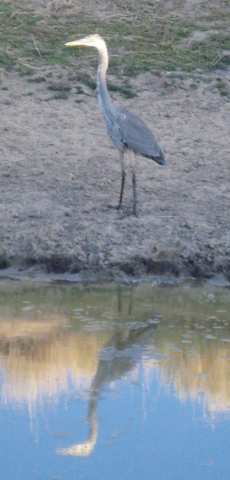 a Great Blue Heron Visits a Waterhole in the high desert of northwestern colorado
