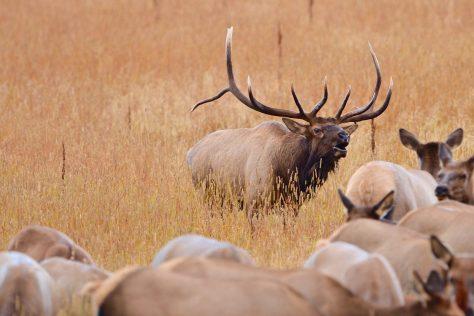 A Bull Elk Bugling and Herding Cow Elk