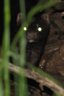 A Mink On The Hunt