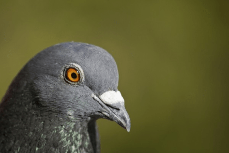 A close up photo of a common pigeon with eye