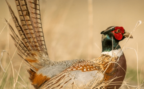 Close-up photo of a male ring-necked pheasant in fall colors