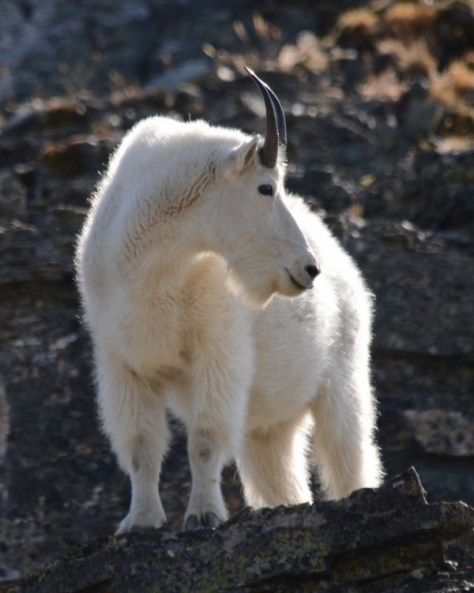 A Close-up Photo of A Rocky Mountain Goat on a Cliff