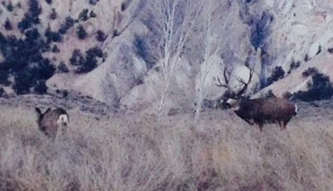 A big trophy mule deer buck with doe in full rut in colorado. Photography by Michael McCarty