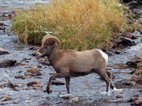 A Bighorn Ram crosses the Frying Pan River in northwestern Colorado in Bighorn sheep Unit S44