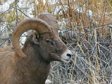 A close up photo of a Male Bighorn Sheep on the Frying Pan River near Carbondale Colorado in Bighorn Sheep Unit S44