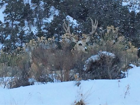 A trophy class mule deer buck in the snows of western colorado