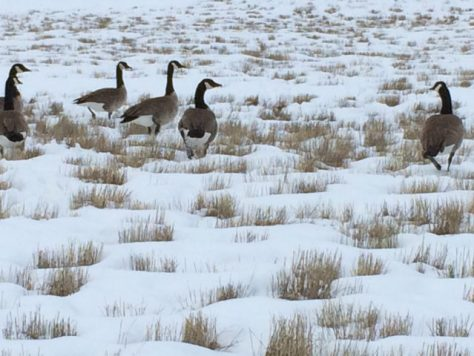 A Small Flock Of Canada Geese Walks Through A Field Of Snow And Grass, Searching For Food In A Rocky Mountain Winter Storm. Photo by Michael Patrick McCarty