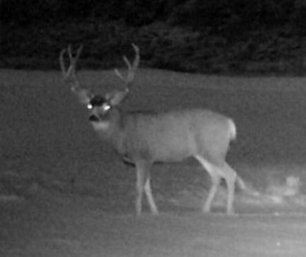 A big mule deer buck captured on a nighttime game camera in the snow