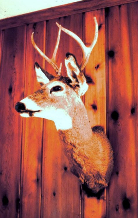 A Vintage Photograph Of A Taxidermy Mount Of A Young Buck White-tailed Deer, Taken In Maryland With a Shotgun Slug In the Early 1970's. Photograph By Michael Patrick McCarty