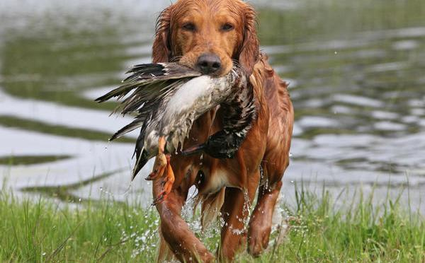 a golden retriever with a drake mallard in mouth returns to the hunter