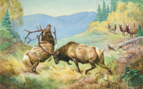 Two Bull Elk Fighting in an Open Meadow, with One Bull Goring the Other as Cow Elk Look on. Painting by Walter A. Weber