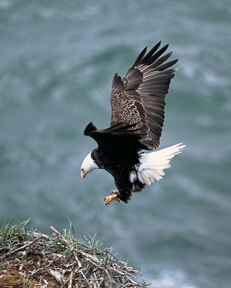 A Bald Eagle Landing On A Nest
