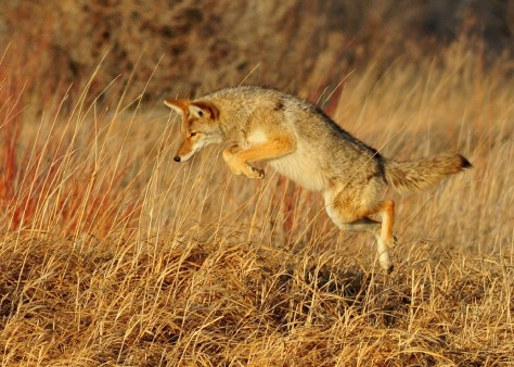 A Coyote Pouncing On Prey